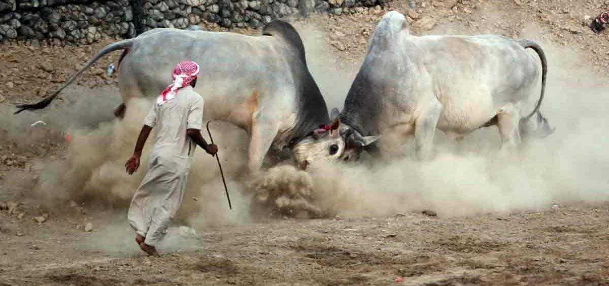 Bullfighting in Fujairah